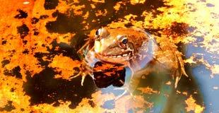 βάτραχος χρυσός Στοκ εικόνα με δικαίωμα ελεύθερης χρήσης