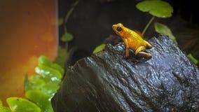 Βάτραχος χρυσό Mantella Στοκ φωτογραφία με δικαίωμα ελεύθερης χρήσης