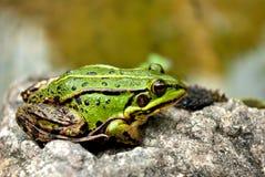 βάτραχος Στοκ Φωτογραφίες