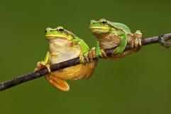 βάτραχος Στοκ εικόνες με δικαίωμα ελεύθερης χρήσης