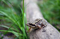 Βάτραχος Στοκ φωτογραφίες με δικαίωμα ελεύθερης χρήσης