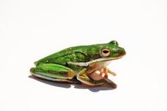 βάτραχος Στοκ Εικόνα