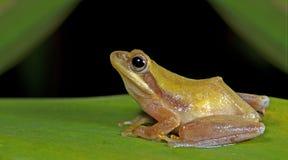 Βάτραχος Doria s Μπους, όμορφος βάτραχος, βάτραχος στο πράσινο φύλλο Στοκ Εικόνα