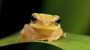 Βάτραχος Doria s Μπους, όμορφος βάτραχος, βάτραχος στο πράσινο φύλλο Στοκ Φωτογραφία