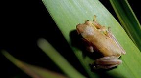 Βάτραχος Doria s Μπους, όμορφος βάτραχος, βάτραχος στο πράσινο φύλλο Στοκ φωτογραφίες με δικαίωμα ελεύθερης χρήσης