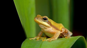 Βάτραχος Doria s Μπους, όμορφος βάτραχος, βάτραχος στο πράσινο φύλλο Στοκ φωτογραφία με δικαίωμα ελεύθερης χρήσης