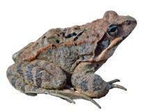 Βάτραχος (dybowskii Rana) 19 Στοκ Εικόνες