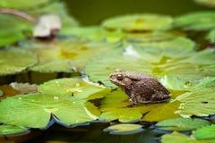 βάτραχος lilypad Στοκ φωτογραφία με δικαίωμα ελεύθερης χρήσης