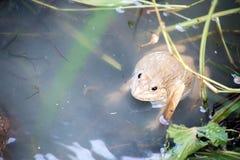 Βάτραχος, Lithobates clamitans, που κολυμπά σε έναν υγρότοπο Στοκ Εικόνα