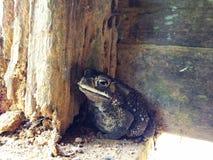 Βάτραχος melanostictus Duttaphrynus στοκ φωτογραφίες