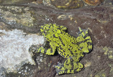 Βάτραχος (orientalis Bombina) 18 Στοκ φωτογραφίες με δικαίωμα ελεύθερης χρήσης