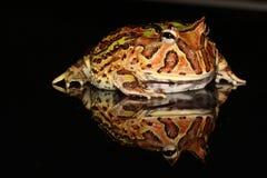 Βάτραχος Packman Στοκ φωτογραφίες με δικαίωμα ελεύθερης χρήσης