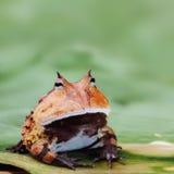 Βάτραχος Pacman ή κερασφόρο τροπικό δάσος του Αμαζονίου φρύνων Στοκ Φωτογραφία