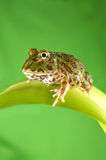 βάτραχος pacman Στοκ Εικόνες