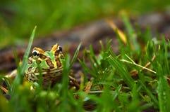 βάτραχος pacman στοκ φωτογραφίες