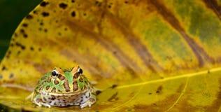 βάτραχος pacman στοκ εικόνες με δικαίωμα ελεύθερης χρήσης