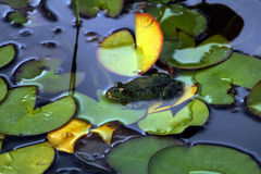 Βάτραχος restiong σε ένα λουλούδι λωτού Στοκ Εικόνα