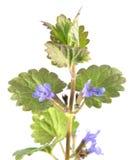 Βάλσαμο ή έδαφος-κισσός τομέων που απομονώνεται στο άσπρο υπόβαθρο ιατρικό φυτό Στοκ εικόνα με δικαίωμα ελεύθερης χρήσης