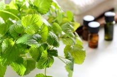 Βάλσαμο λεμονιών για τη aromatherapy επεξεργασία Στοκ Εικόνα
