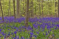 Βέλγιο, Vlaanderen Φλαμανδική περιοχή, halle Λουλούδια Hyacint Bluebell Στοκ φωτογραφία με δικαίωμα ελεύθερης χρήσης