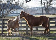 Βέλγος και άλογα κάστανων Στοκ Εικόνες