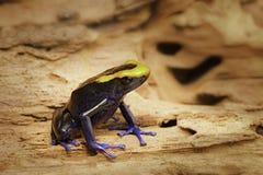 Βέλος δηλητήριων ή βάτραχος βελών, tinctorius Lorenzo Dendrobates Στοκ Εικόνες