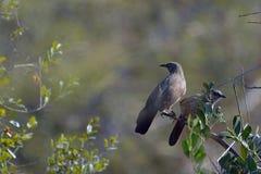 Βέλος-Arrow-marked φλύαρος (jardineii Turdoides) Στοκ Εικόνες