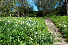 Βήματα Daffodil Στοκ εικόνες με δικαίωμα ελεύθερης χρήσης
