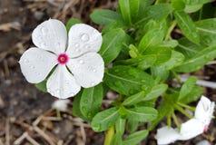 Βίγκα vinca de Μαδαγασκάρη roseus Catharanthus Στοκ φωτογραφία με δικαίωμα ελεύθερης χρήσης