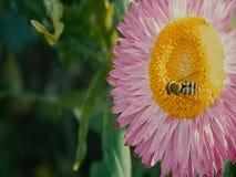 Βίντεο των μελισσών στα λουλούδια φιλμ μικρού μήκους