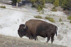 Βίσωνας κοντά στην καυτή άνοιξη σε Yellowstone, Wyoming Στοκ Φωτογραφίες