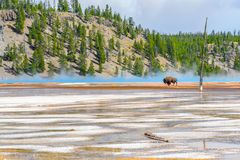 Βίσωνας που διασχίζει τη μεγάλη Prismatic άνοιξη στο εθνικό πάρκο Yellowstone στοκ φωτογραφίες με δικαίωμα ελεύθερης χρήσης