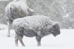 Βίσωνας σε μια θυελλώδη χιονοθύελλα στοκ εικόνα