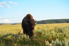 Βίσωνας στην κοιλάδα στο yellowstone Στοκ εικόνες με δικαίωμα ελεύθερης χρήσης