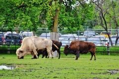 Βίσωνας στο πάρκο Assiniboine, Winnipeg, Manitoba Στοκ εικόνα με δικαίωμα ελεύθερης χρήσης