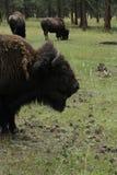 Βίσωνας (Buffalo) Στοκ Φωτογραφίες
