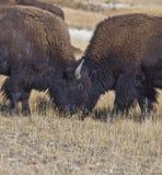 Βίσωνας Yellowstone στο πάρκο, Wyoming Στοκ Φωτογραφία