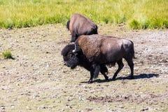 Βίσωνες στο εθνικό πάρκο Yellowstone, Ουαϊόμινγκ, ΗΠΑ στοκ φωτογραφίες