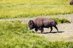 Βίσωνες στο εθνικό πάρκο Yellowstone, Ουαϊόμινγκ, ΗΠΑ στοκ εικόνα με δικαίωμα ελεύθερης χρήσης