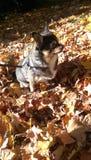 Βαγονέτο που απολαμβάνει τα φύλλα μια ημέρα πτώσης Στοκ Φωτογραφίες