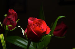 Βαθιά - κόκκινα τριαντάφυλλα Στοκ εικόνα με δικαίωμα ελεύθερης χρήσης