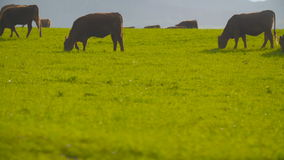 Βαθιά - κόκκινη βοσκή αγελάδων βοοειδών φιλμ μικρού μήκους