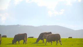 Βαθιά - κόκκινη βοσκή αγελάδων βοοειδών απόθεμα βίντεο