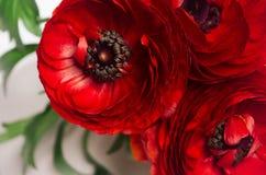 Βαθιά - κόκκινη επικεφαλής κινηματογράφηση σε πρώτο πλάνο λουλουδιών στο άσπρο υπόβαθρο Εορταστικό θερινό σκηνικό στοκ φωτογραφία με δικαίωμα ελεύθερης χρήσης