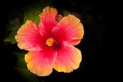 Βαθιά πορτοκαλιά/κίτρινα Hibiscus Στοκ Εικόνες