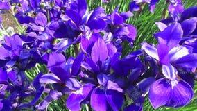 Βαθιά - πορφυρά λουλούδια της Iris στο αεράκι απόθεμα βίντεο