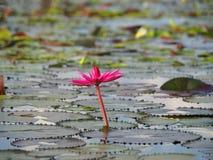 Βαθιά - ρόδινο Lotus κρίνων νερού σε μια απέραντη λίμνη όπως γνωστό Talay Noi στοκ εικόνες