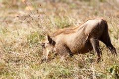Βαθιά στη χλόη - africanus Phacochoerus το κοινό warthog Στοκ εικόνες με δικαίωμα ελεύθερης χρήσης