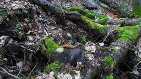Βαθιά στο δάσος στο βράδυ απόθεμα βίντεο