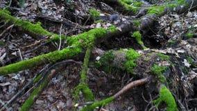 Βαθιά στο δάσος στο βράδυ φιλμ μικρού μήκους